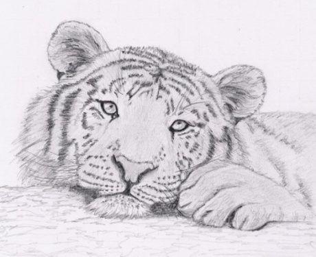image dessin tigre