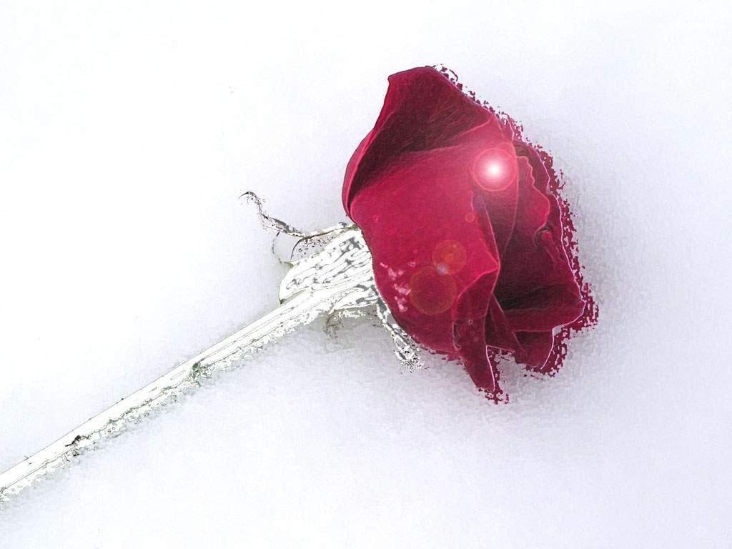 Fonds d ecran fleurs page 6 for Fond ecran rose