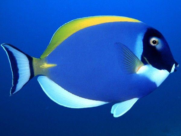 Обои Голубая рыбка, Голубая красивая рыба с жёлтым плавником.