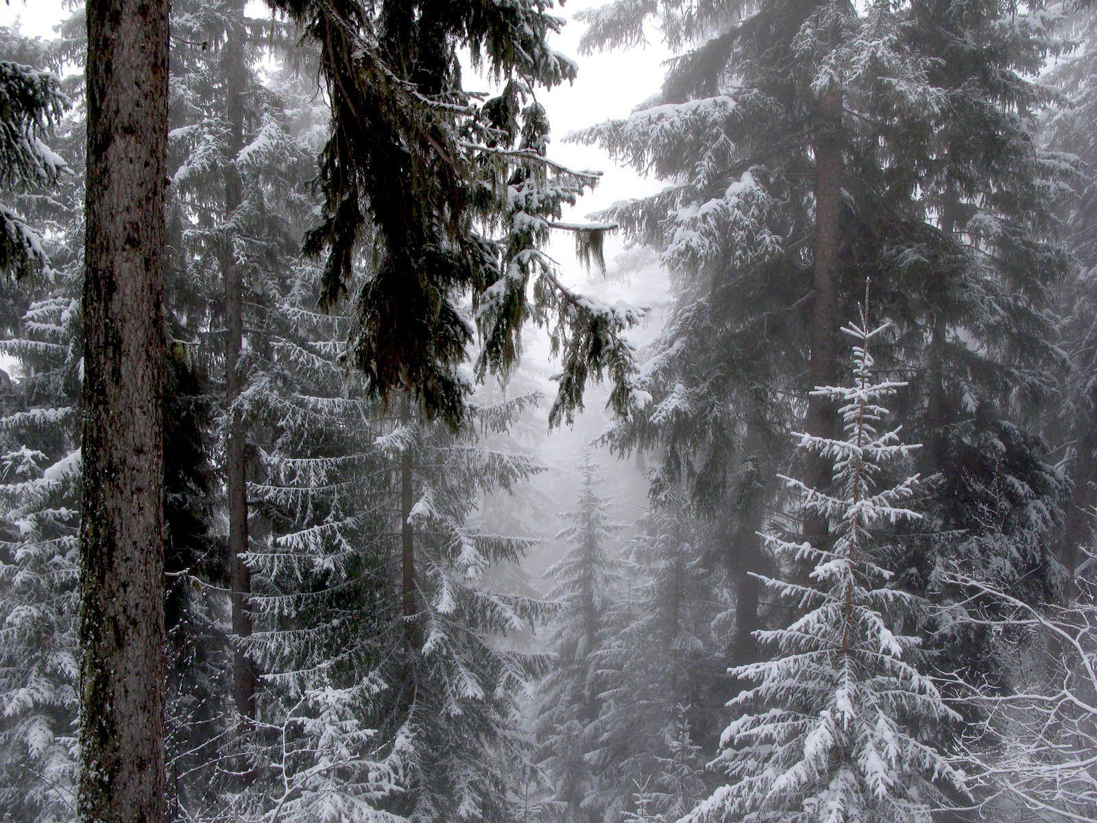 fond d'écran forêt sous la neige