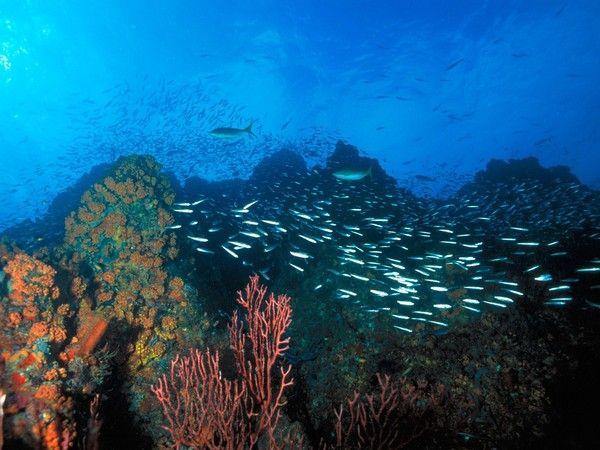 Обои Стаи рыб, Стаи коралловых рыбок в голубой воде.