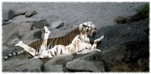 image tigre et femme