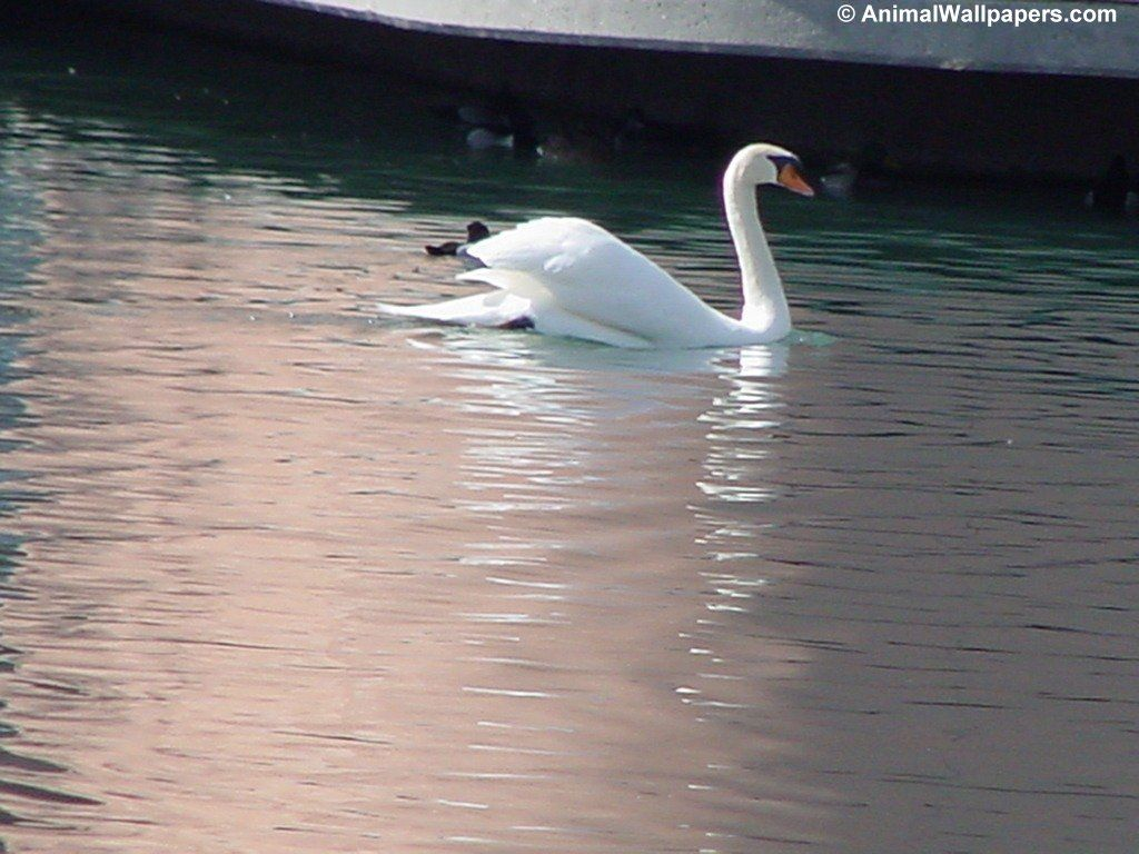 fond d'cran cygne