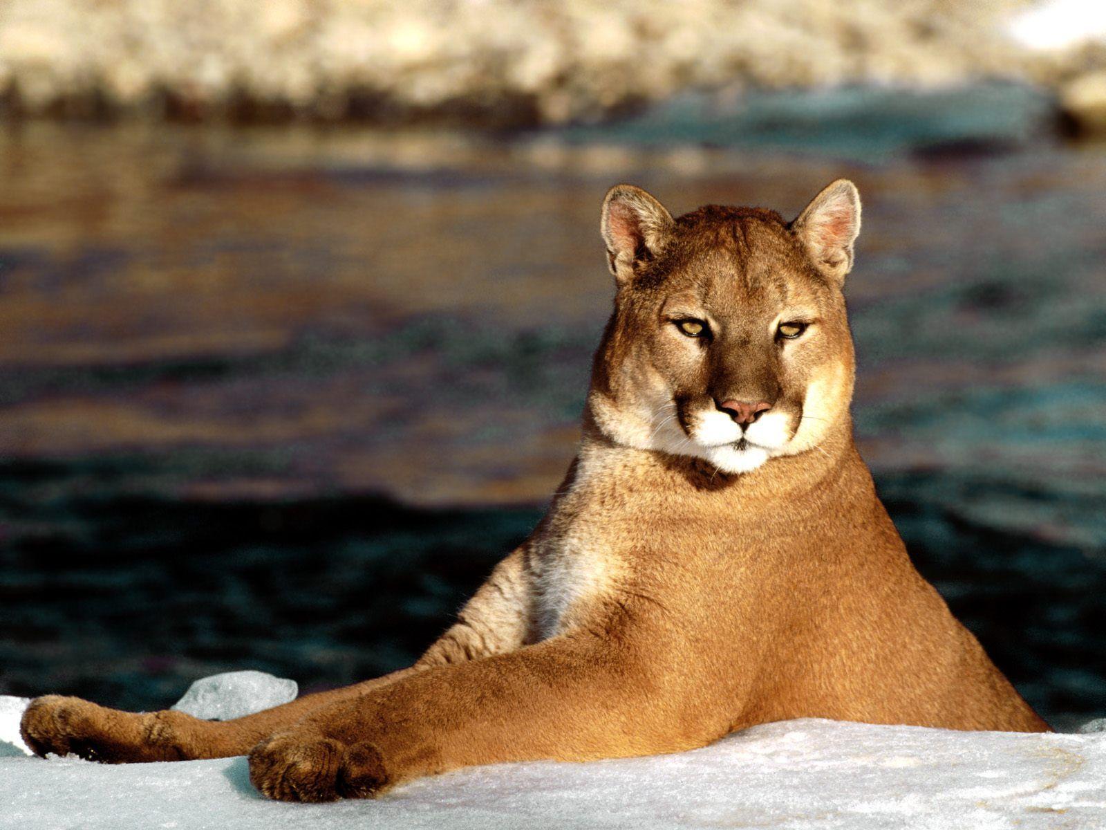 fond d'écran cougar