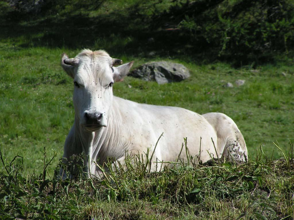 fond d'cran vache