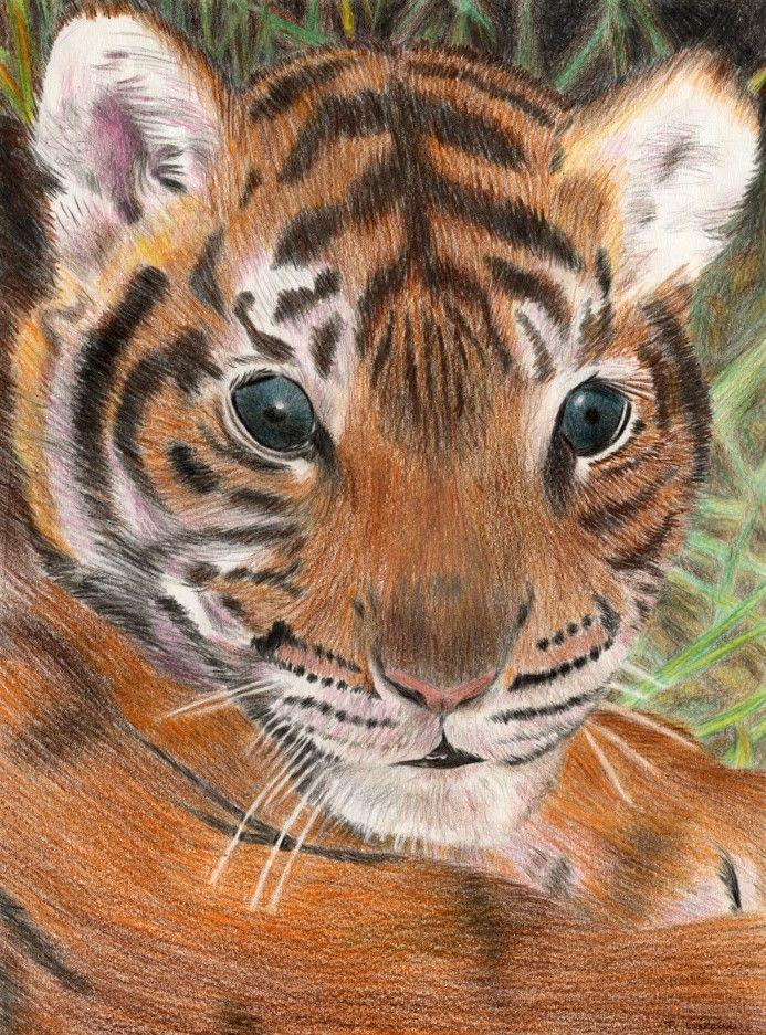 dessin tigron