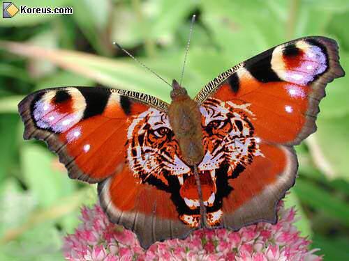 image d'un tigre sur un papillon