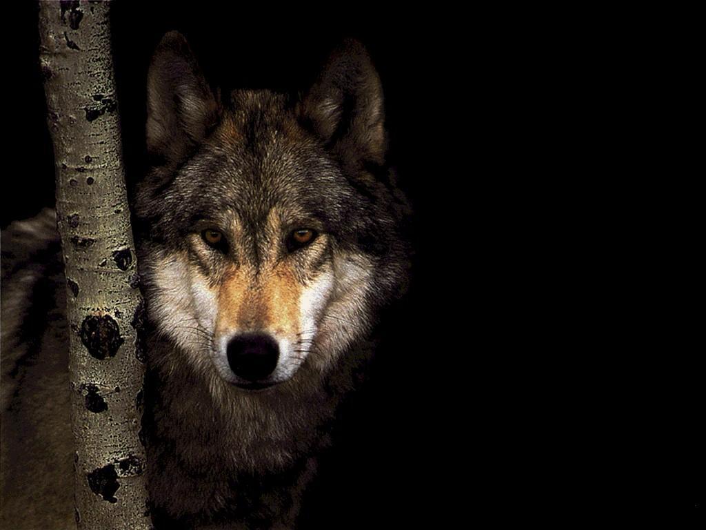 Fonds d ecran loup